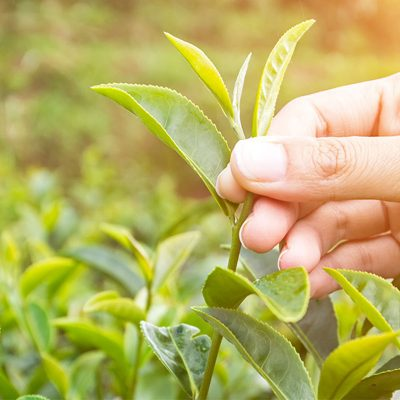 Ethical Teas Private limited